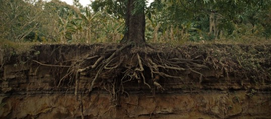 Tree_roots_cross_section